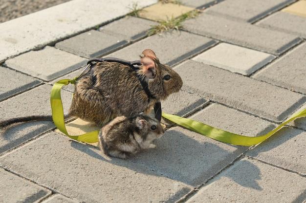 Les rongeurs de l'écureuil chilien degu et hamster assis sur le trottoir