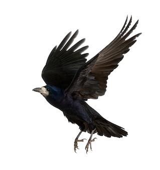 Rook, corvus frugilegus, 3 ans, volant contre une surface blanche