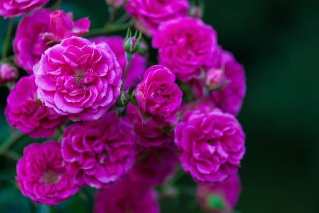 Rosa elmshorn - riches roses magenta-rose