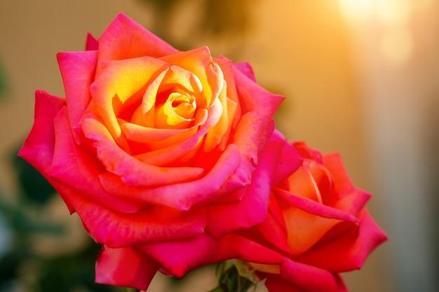 Rose agrandi dans les rayons du soleil couchant