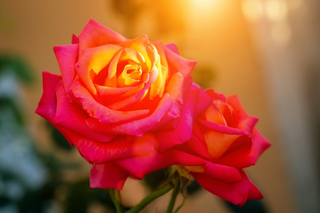 """Résultat de recherche d'images pour """"rose et soleil couchant"""""""