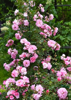 Rose bella fleurs poussant en extrême-orient de la russie