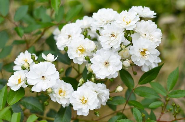 Rose bella weiss fleurs poussant en extrême-orient de la russie