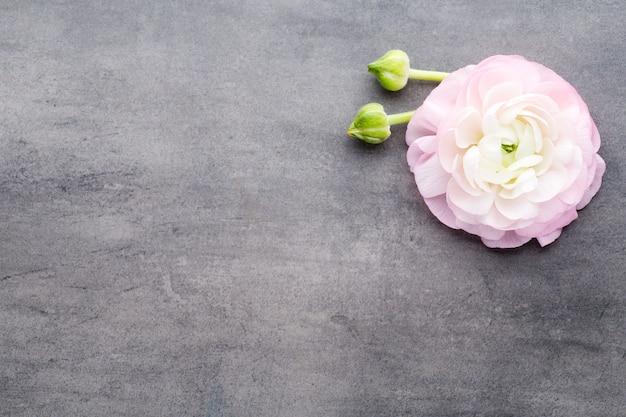 Rose belle renoncule sur fond gris.