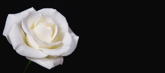 Rose blanche avec des gouttes de rosée sur fond noir. copiez l'espace.