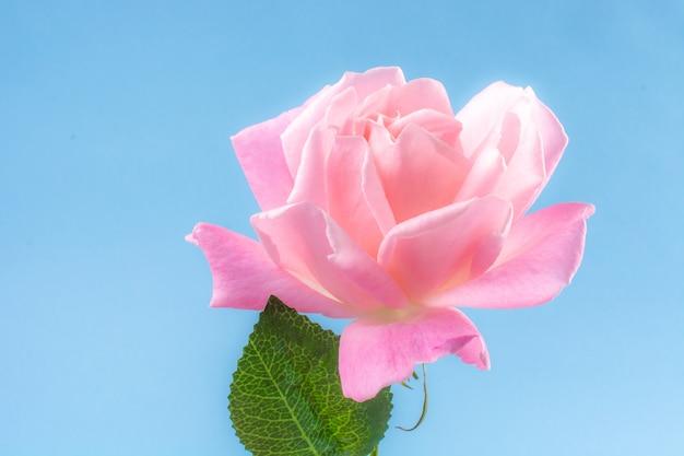 Rose en bleu céleste angélique et tendre belle pinky