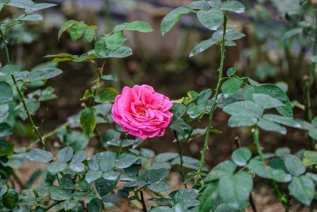Rose avec des bourgeons dans un jardin de fleurs romantique.