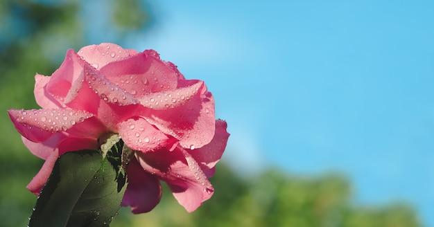 Rose bud avec des gouttes de pluie