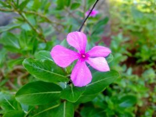 Rose catharanthus roseus fleur