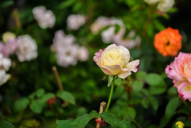 Rose délicate dans le jardin