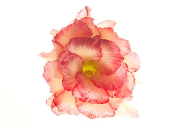 Rose du désert isolé sur fond blanc.