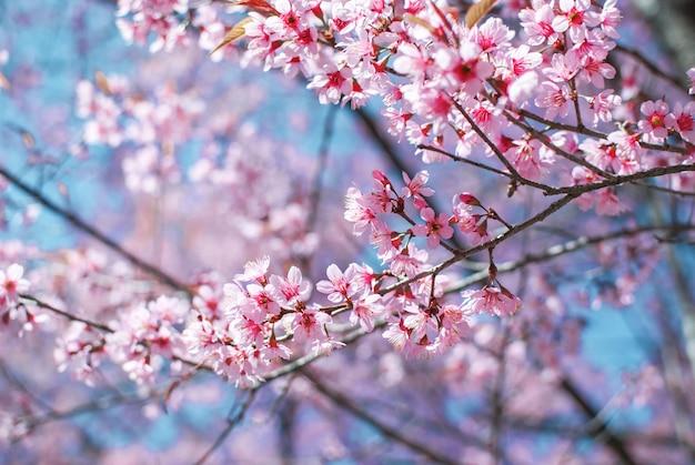 Rose fleur de cerisier la beauté naturelle des fleurs de cerisier