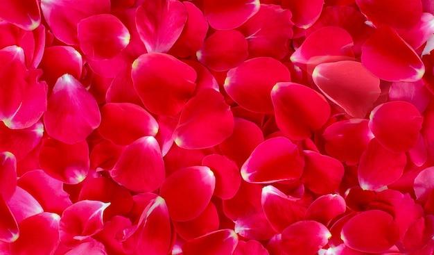 Rose, fond, fond, rouge, fleur