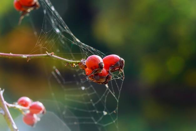 Rose hanches sont cobweb