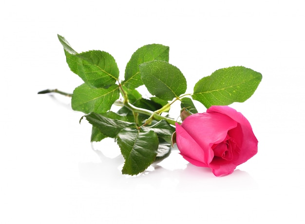 Rose isolé sur fond blanc