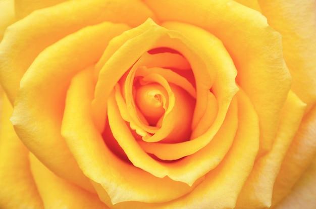 Rose jaune floue sur fond flou