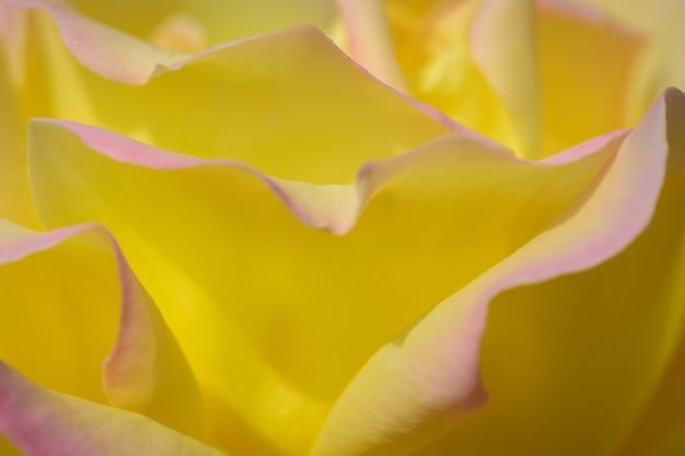 Rose jaune (paix)