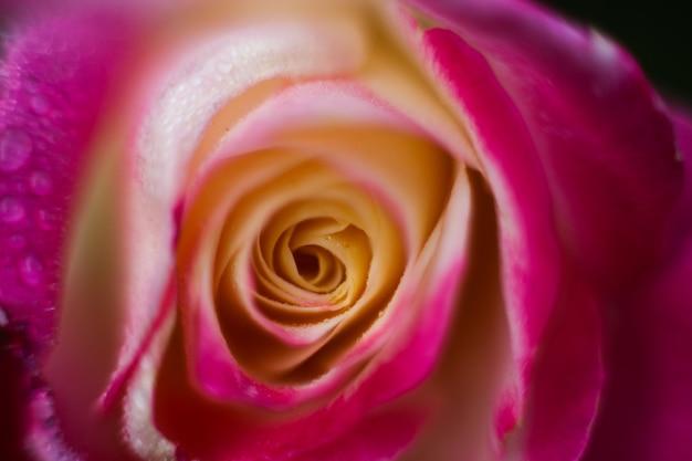 Rose macro photographie, pétales de fleurs se bouchent, fond floral