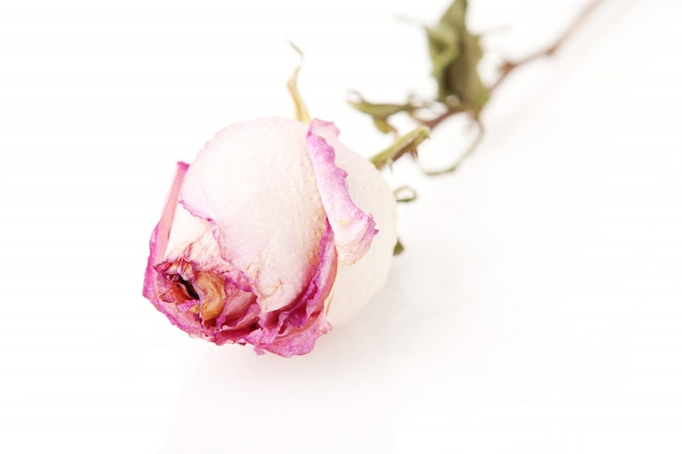 Rose morte sur blanc
