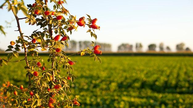 Rose musquée des buissons