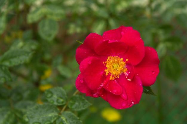 Rose ouverte rouge vif sur fond de verdure.