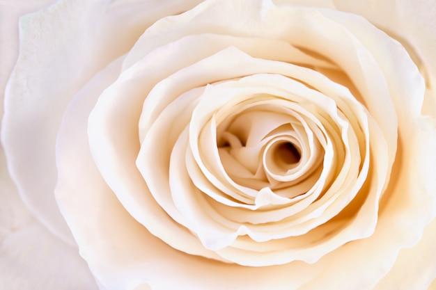 Rose pétale crème closeup
