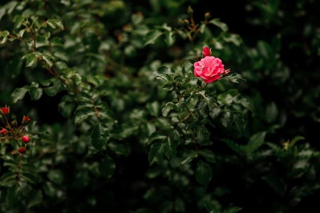 Rose rose au point dans le coin