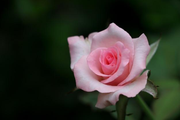 Rose rose belle couleur romance fleur épanouie dans la nature