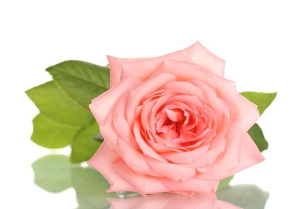 Rose rose sur blanc