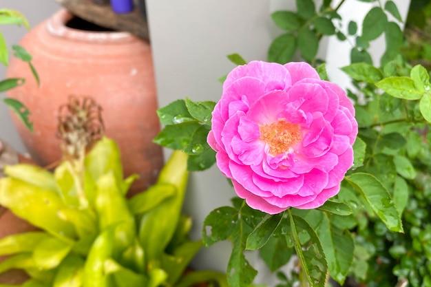 Rose rose dans le jardin verdoyant. pour la saint valentin.