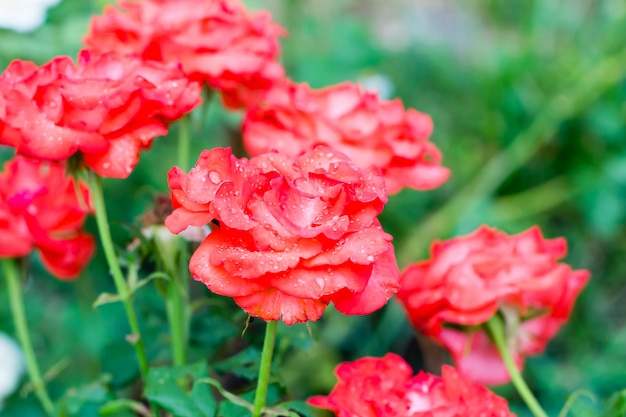 Rose rose dans le jardin