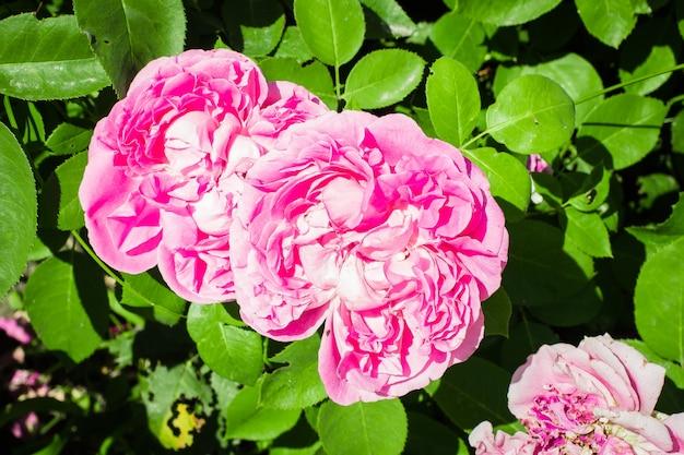Rose rose fleurs fleur belle