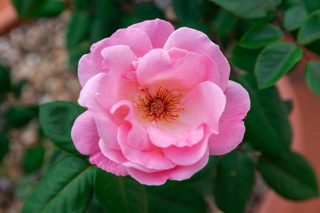 Rose rose en fleurs, avec fond de feuilles vertes