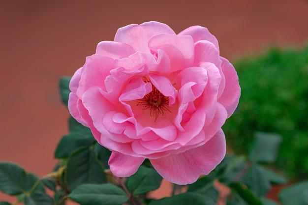 Rose rose en fleurs