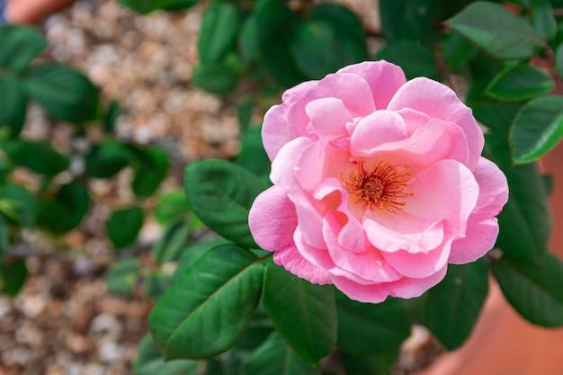 Rose rose floraison