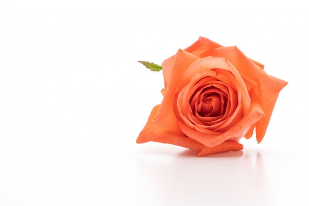 Rose rose sur fond blanc