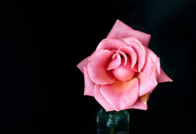 Rose rose avec un fond sombre