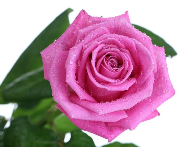 Rose rose isolé sur blanc