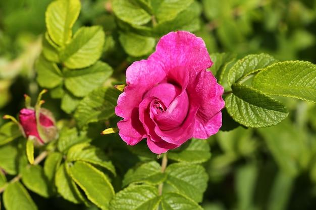 Rose rosier bush dans le jardin