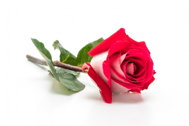 Rose rouge sur blanc