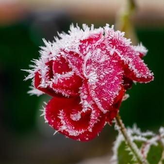 Rose rouge couverte de givre sur un arrière-plan flou sombre