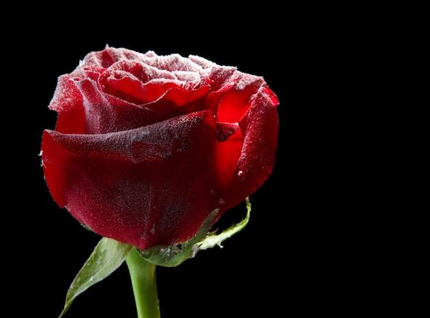Rose rouge dans la glace, isolée sur fond noir