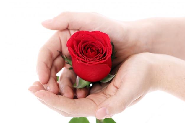 Rose rouge dans les mains