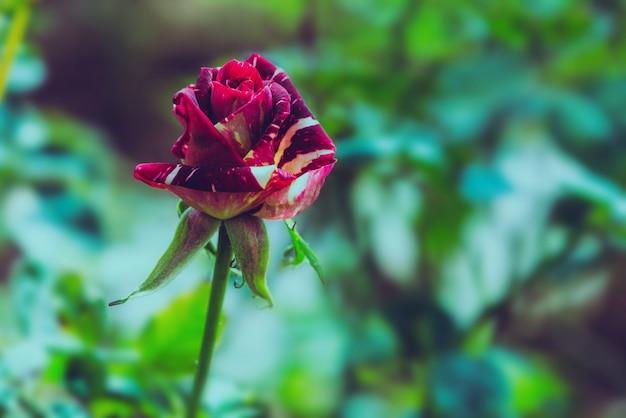 Rose rouge dans la nature