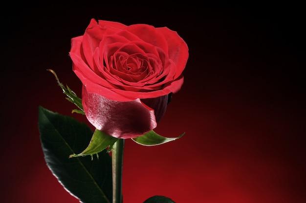Rose rouge dans l'obscurité