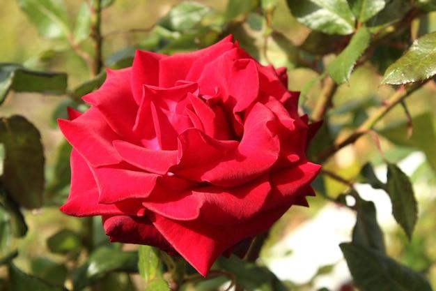 Rose rouge fleurit dans le jardin