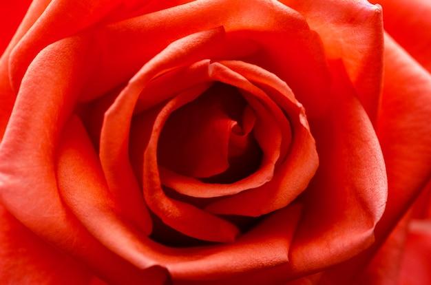 Rose rouge floue avec floue