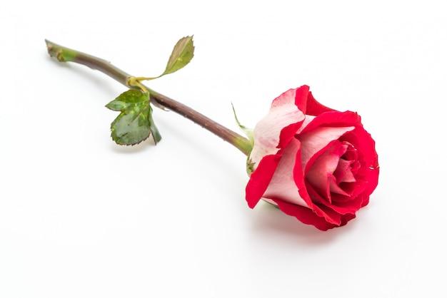 Rose rouge sur fond blanc