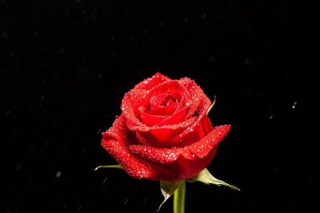 Rose rouge fraîche avec des gouttes de pluie sur fond noir. symbole de l'amour.