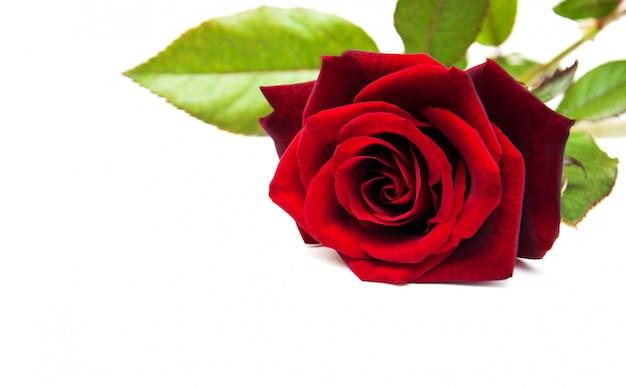 Rose rouge fraîche